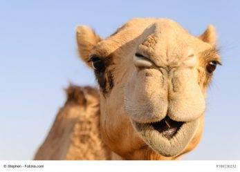 Schadensersatz bei Reitunfall mit Kamel